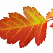 Stock Photo: Autumn colorful leaf of hawthorn