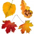 Collection beautiful colourful autumn leaves isolated on white — Stock Photo