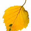 Autumn leaf of birch on isolated - Stock Photo
