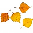 Autumn birch leaves on isolated — Stock Photo #13838872