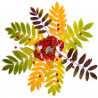 Stock Photo: Autumn decoration of colorful leaves and rowberries