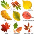 Collection beautiful colourful autumn leaves with name, isolated on white background — Stock Photo #13838886