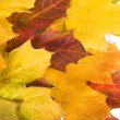 Autumn maple leaves isolated on white background — 图库照片