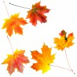 Autumn maple leaves isolated on white background — Photo