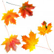 Autumn maple leaves isolated on white background — ストック写真