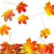 Autumn maple leaves isolated on white background — Stock Photo