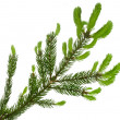 Green tree branch with young soft fir shoots isolated on white - Stockfoto