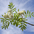 Stock Photo: Branch of blossoming mountain ash