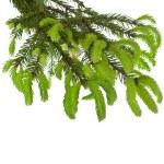 gröna trädgren med unga mjuka fir skott isolerad på vit — Stockfoto