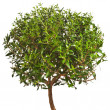 Myrtle tree isolated on white background — Stock Photo