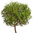Stock Photo: Myrtle tree isolated on white background