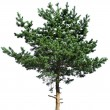 Pine tree isolated on white — Stock Photo