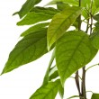 Border branch of avocado tree isolated on white background — Stock Photo