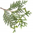 Branch of thuja tree, isolated - Stock Photo
