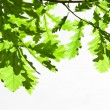 Oak green leaves - Stock Photo