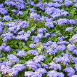 Ageratum blossom — Stock Photo