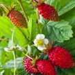 Strawberries fruits in the garden - Stock Photo