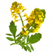 Flowering Barbarea vulgaris or Yellow Rocket plant (Cruciferae , Brassicaceae ) close up isolated - Stock Photo