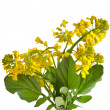 Stock Photo: Flower Barbarevulgaris, Bitter Yellow Rocket plant (Cruciferae , Brassicaceae ) , close up isolated on white