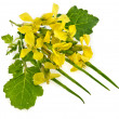 Flower of a mustard, Rape blossoms ,Brassica napus, isolated -  
