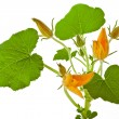 Pumpkin plant with flower isolated — Stock Photo