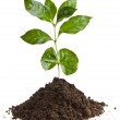 Coffee plant seedling in the pile ground soil isolated on white — Stock Photo #13839826