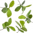 Tea Leaves Plant — Stock Photo