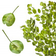 Field Penny-cress (Thlaspi arvense) isolated on white background — Stock Photo