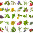 Fresh medicinal aromatic and culinary herbs, leaves, berries, plant, flowers - collection isolated on white background  — Stock Photo