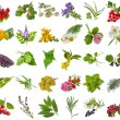 Fresh medicinal aromatic and culinary herbs, leaves, berries, plant, flowers - collection isolated on white background — Foto de Stock