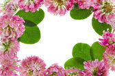 Frame of pink clover flowers isolated — Stock Photo