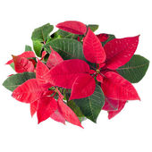 Christmas flower - Red poinsettia isolated on a white background — Stock Photo