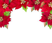 Christmas frame from poinsettias isolated on white — Stok fotoğraf