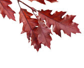 Colorful branch of the oak tree (Quercus rubra) isolated — Stock Photo