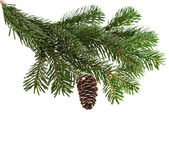 Evergreen fir tree branch on white for design — Стоковое фото