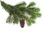 在设计白色常绿杉木树分支 — 图库照片