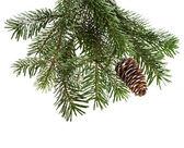 Evergreen fir tree branch on white for design — Stock Photo