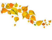 Autumn leaves falling isolated on white — Stockfoto