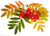 Autumnal colorful red rowan branch isolated on white — Stock Photo