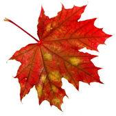 Autumn leaf maple on white background — Stock Photo