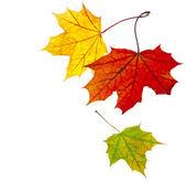 Autumn leave maple isolated on white background — Stock Photo
