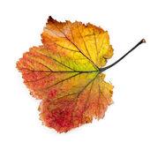 Kleurrijke herfst blad geïsoleerd — Stockfoto