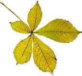 Leaf of chestnut tree (Aesculus hippocastanum) on a white background — Stock Photo