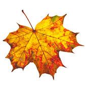 Autumn leaf maple isolated on white — Stock Photo