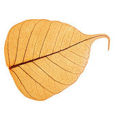 One yellow leaf, macro, isolated on white — Stock Photo