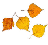Autumn birch leaves on isolated — Stock Photo