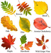 Collection beautiful colourful autumn leaves with name, isolated on white background — Stock Photo