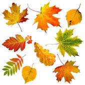 Coleção bela folhas de outono coloridas isolaram no fundo branco — Foto Stock