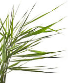 Green reed cane grass Isolated on white background — Stock Photo