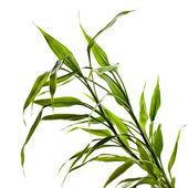 Bambu verde deixa isolado no fundo branco — Foto Stock